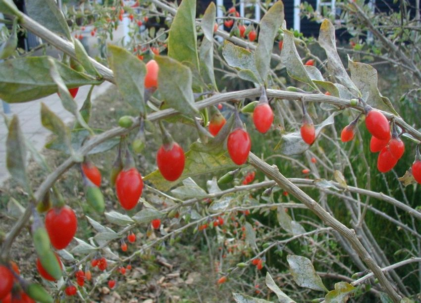 Pianta di Goji: tutto quello che c'è da sapere per coltivarla
