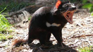 Diavolo della Tasmania, il mammifero dalla storia primordiale