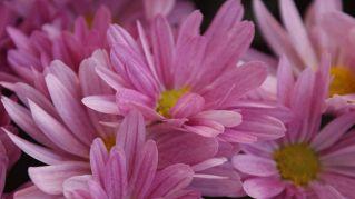 Coltivazione dei crisantemi: come avere sempre un balcone fiorito