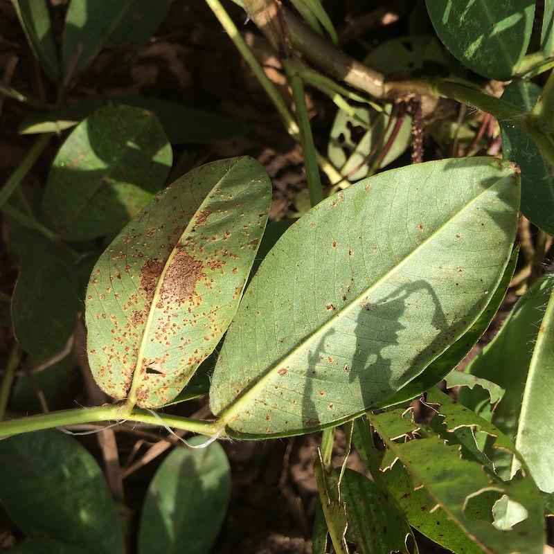 Frutta secca: dove nascono e crescono le arachidi