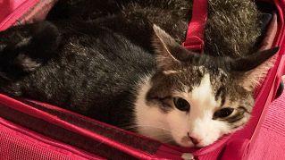 Gatti in viaggio, consigli e trucchi per trasferte senza problemi