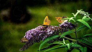 Farfalle addio, ecco perché sono a rischio estinzione