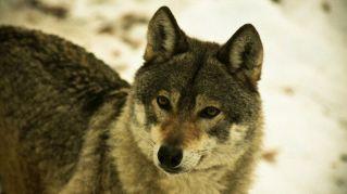 Perché i lupi parlano in dialetto e gli scarafaggi sono irascibili