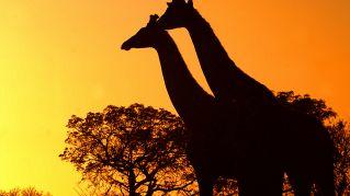Perché le giraffe hanno il collo lungo? Ve lo dice la scienza