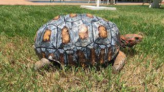 Una stampante 3D regala a questa tartaruga ferita un nuovo guscio
