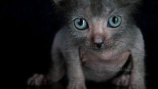 Il gatto mannaro esiste! Ma non è poi così terribile