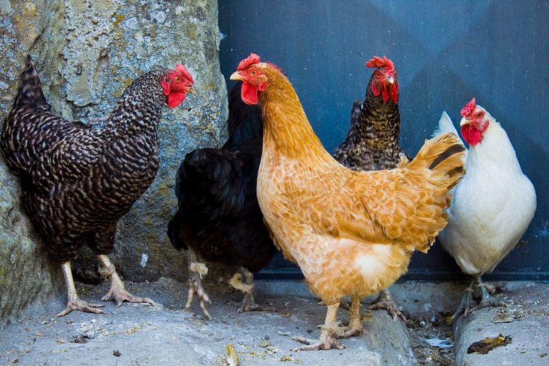 Che differenza c'è tra pollo e gallina