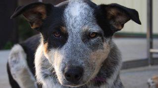 Incroci di cani, le 5 razze più curiose del mondo