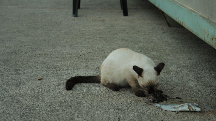 Perché i gatti non dovrebbero mangiare pesce