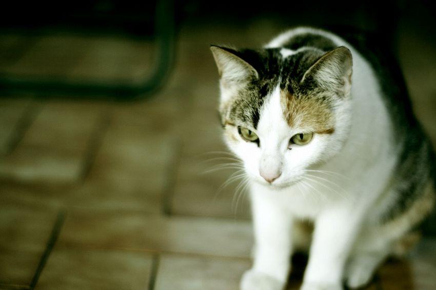 Quanti anni vive un gatto domestico e uno randagio