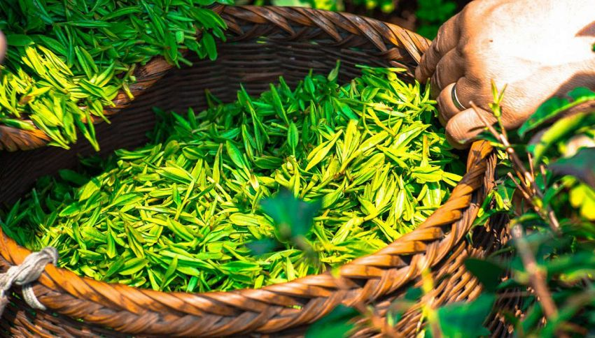 Il tè verde può davvero curarci e potenziare la mente?