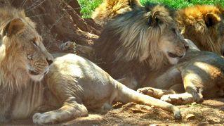 Selfie con i leoni, il governo africano informa che sono pericolosi