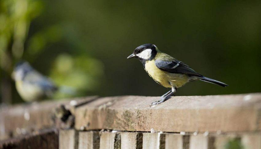 Uccelli stressati, vivere in città li fa invecchiare prima