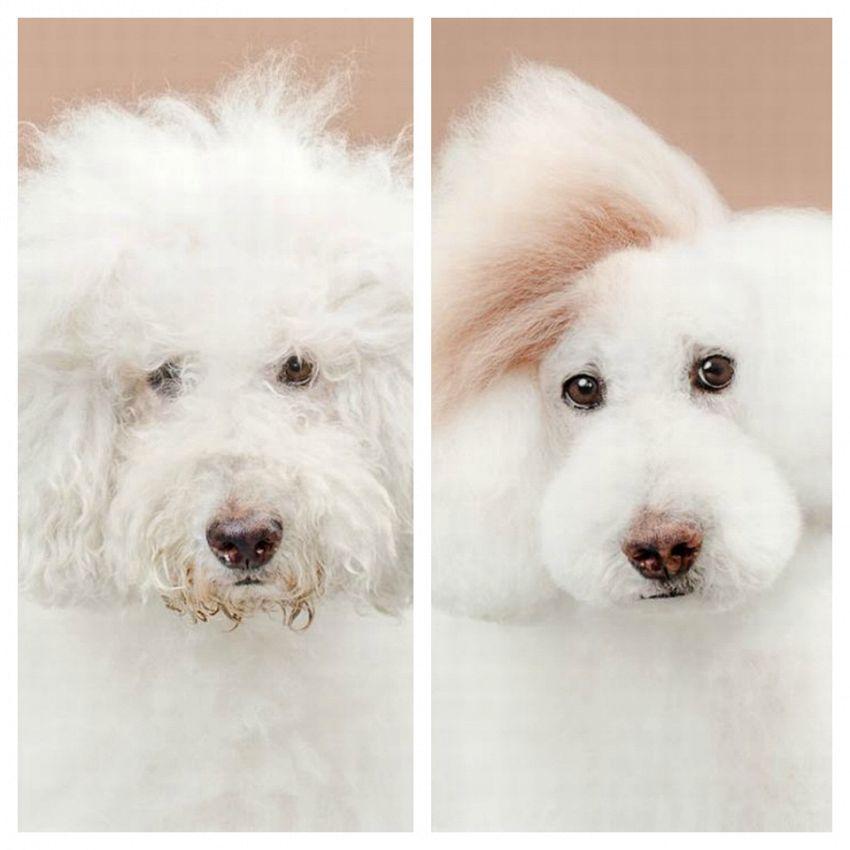 Cuccioli dall'estetista, prima e dopo il taglio alla moda