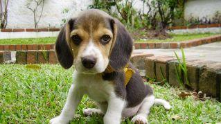 I 5 bassotti più belli del pianeta: dal chihuahua al beagle