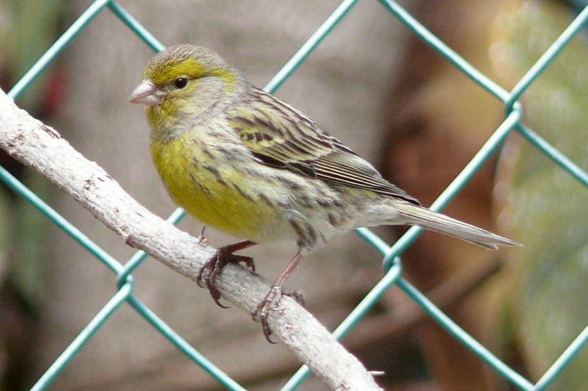 Gli uccelli più famosi del pianeta: dal canarino al passero