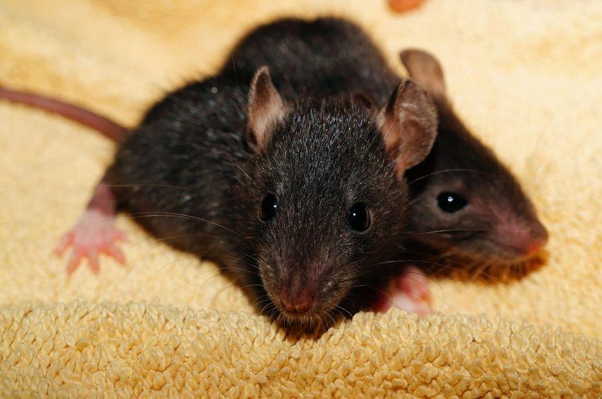 Comportamenti strani dei topi in ambienti sovraffollati