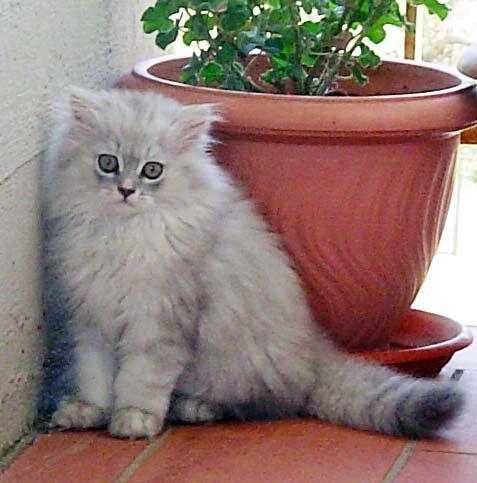 I gatti più famosi del pianeta: dal Siamese a Thomas Cat