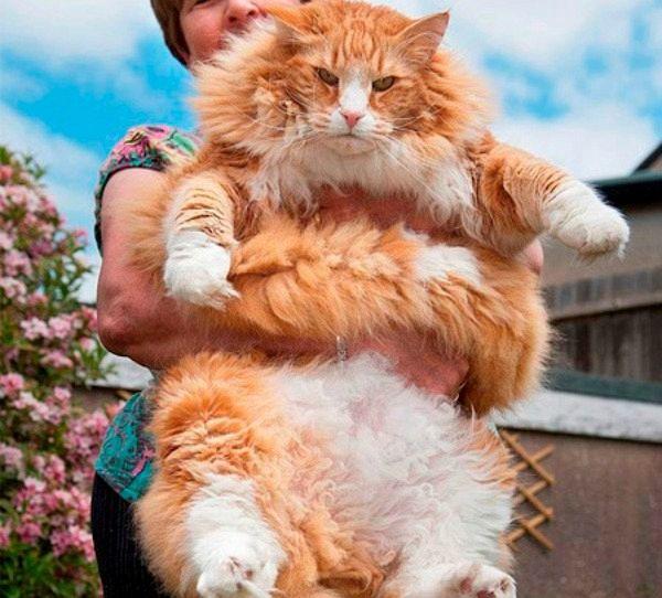 I gatti rossi più brutti del pianeta: da Ulrich al gigante