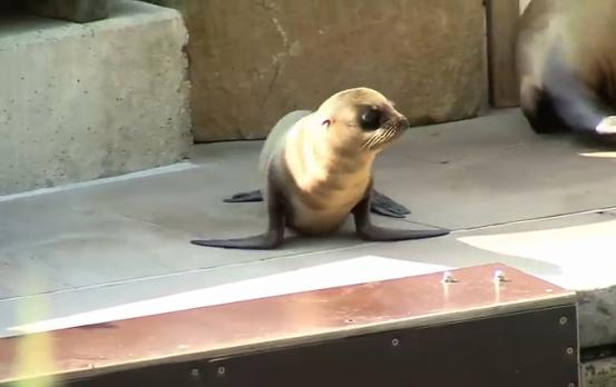 Si chiama Jup, il tenero cucciolo di foca nato allo zoo di Norimberga