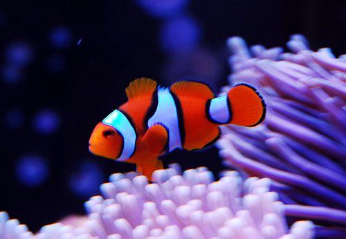 I pesci più carini al mondo: vincerà il pesce pagliaccio?