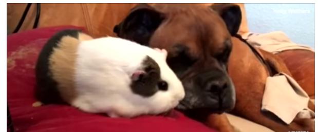 Rex e il suo adorabile porcellino d'India sono amici inseparabili