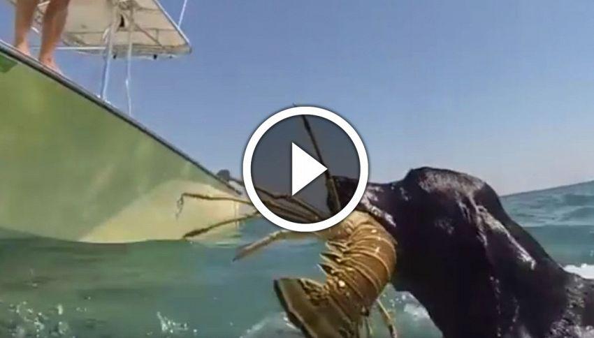 Come pescare le aragoste, quando siete stanchi