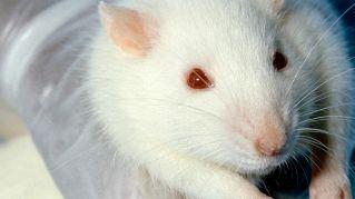 I topi più famosi del pianeta: dalla cavia a Jerry