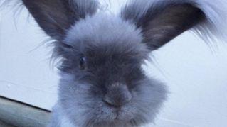 Wally, il coniglio d'Angora più dolce al mondo