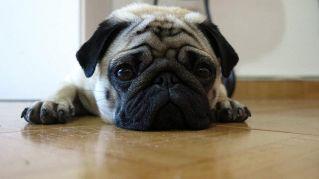 I cani più pigri del pianeta: dal Bulldog inglese allo Shar pei