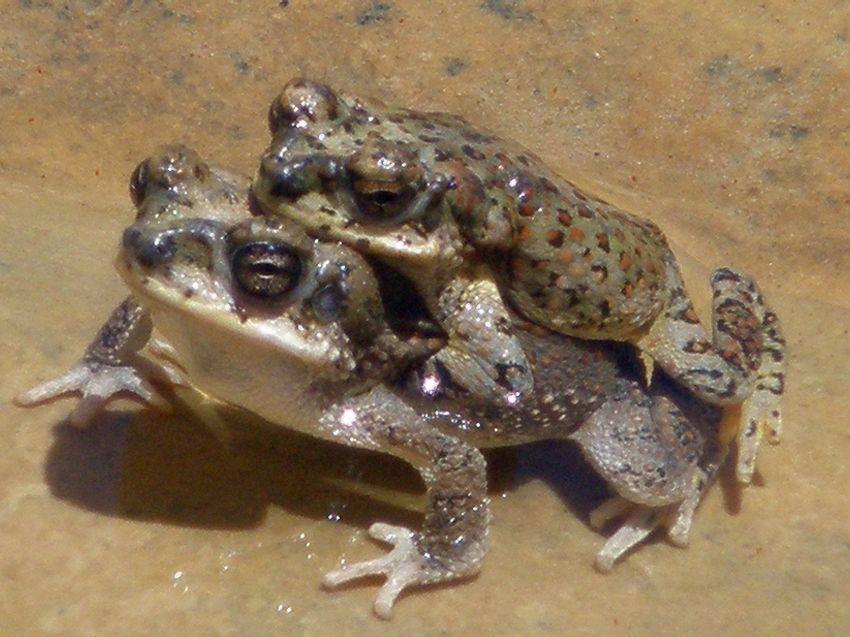Bombay Frog, la nuova posizione sessuale inventata da una rana
