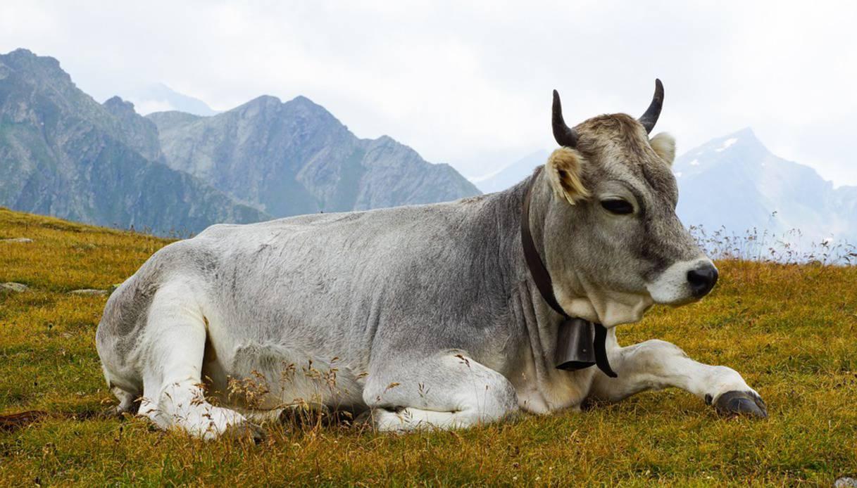 In India arriva il ministro delle mucche