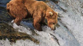Il reality show con gli orsi giunge alla quarta stagione