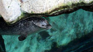 Nasce il fochino di Tethy, fiocco azzurro all'Acquario di Genova