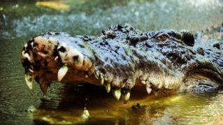 Messico, il coccodrillo passeggia in spiaggia