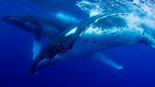 Anche le balene piangono per chi hanno perduto, proprio come noi