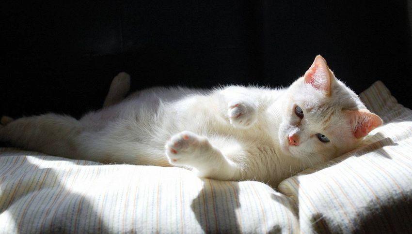 Come proteggere i gatti bianchi dal sole