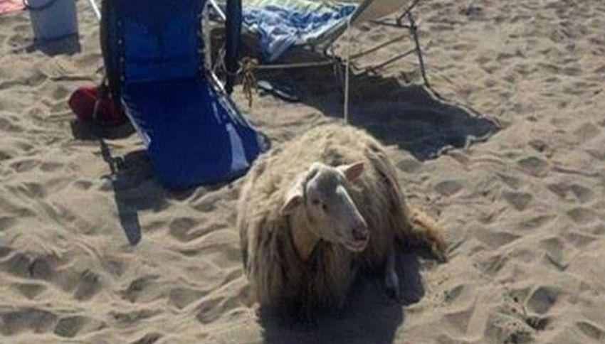 Porta la pecora in spiaggia, ma viene multato dai vigili