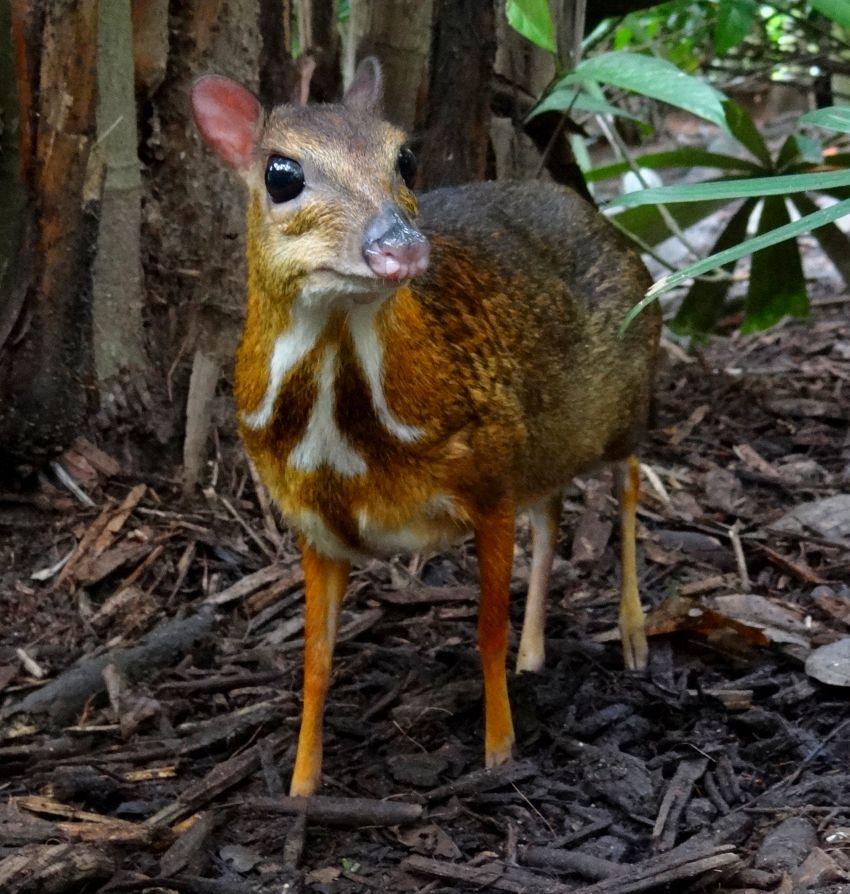 Animali strani: tragulida, il topo cervo dell'Africa occidentale