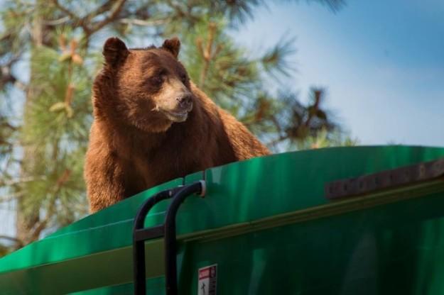 Voleva solo un passaggio: un orso su un camion ecologico