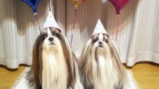 I cuccioli di Shih Tzu sono incredibilmente teneri e dal pelo impossibile