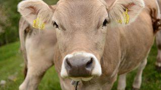 Le mucche indiane sono sacre: scienziati trovano oro nella loro urina