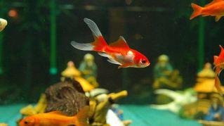 I pesci rossi in Svizzera sono illegali, sapete perché?