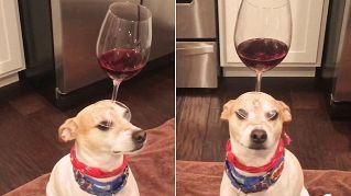 Bravo Ralfi! Il cane che tiene in equilibrio un bicchiere sul naso