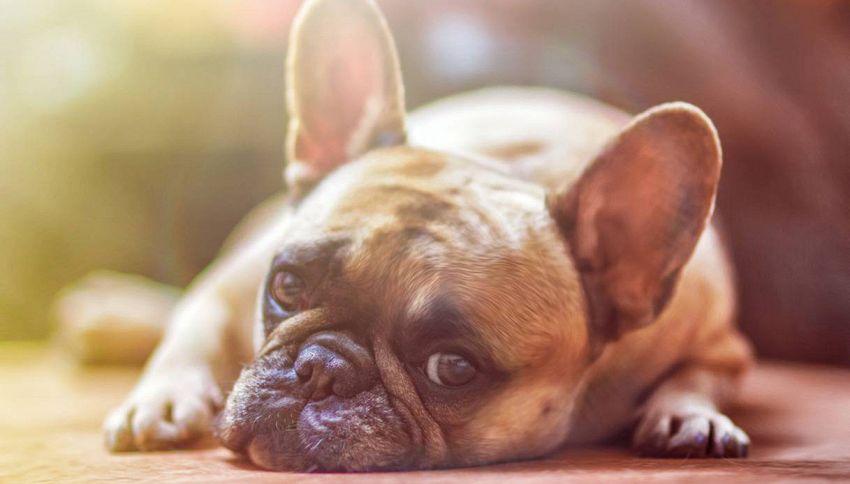 I bulldog potrebbero estinguersi e la colpa è dell'uomo