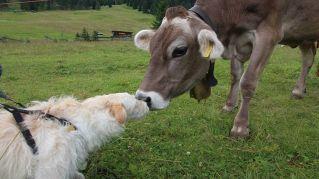 La strana e tenera amicizia tra un cane e una mucca
