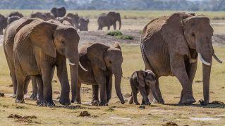 Quasi tutti gli animali non hanno nonni ma gli elefanti sì e meno male