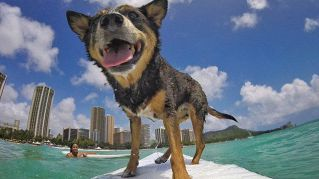 Sì, il surf è uno sport da cani