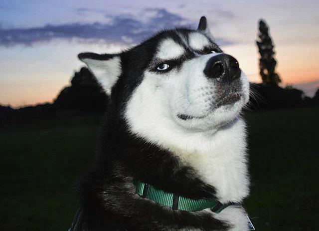 Grumpy dog, l'Husky dallo sguardo d'acciaio con oltre 12000 follower