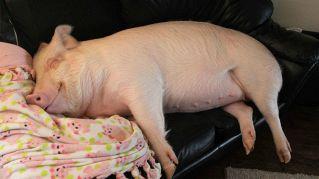 Il maiale schiaccia un pisolino sul divano bianco